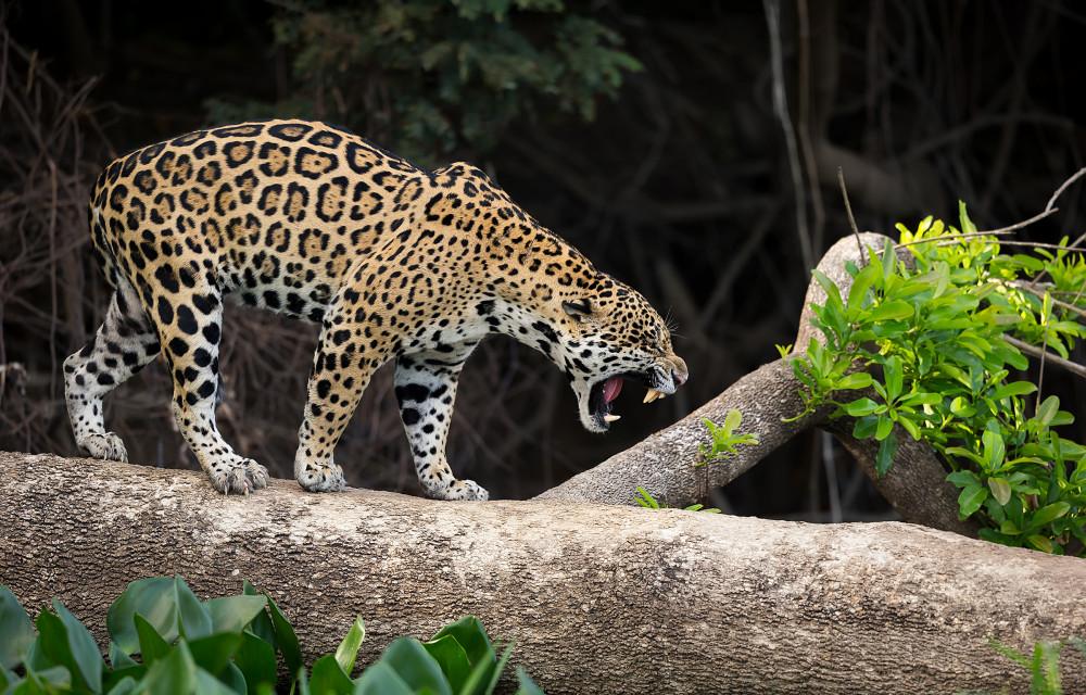Brasil, Pantanal.